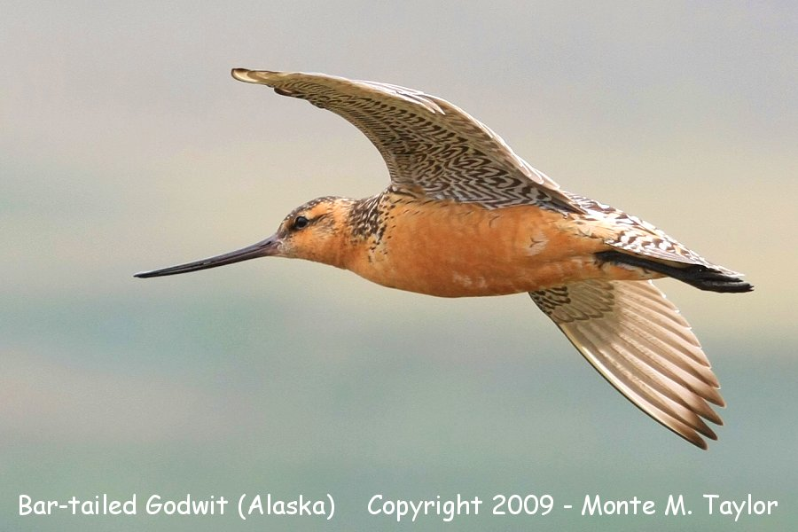 Bar tailed godwit in flight