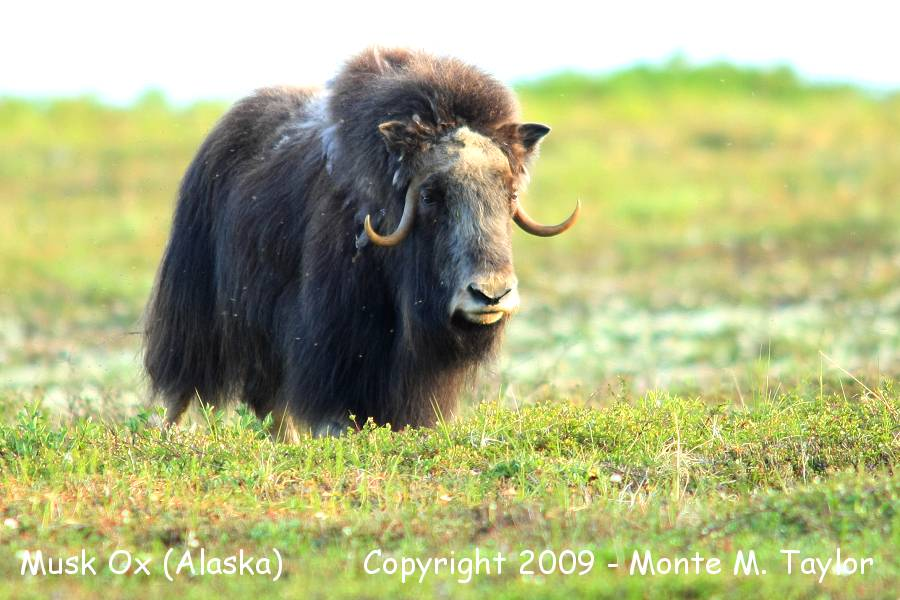 Musk Springs Musk Musk ox Spring Nome