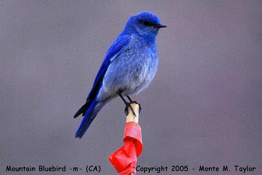 Mountain Bluebird -male-  (California)