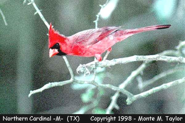 Northern Cardinal -male-  (Texas)