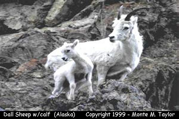Dall Sheep -with calf-  (Denali National Park, Alaska)