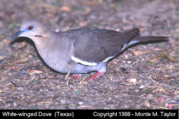 White-winged Dove  (Texas)