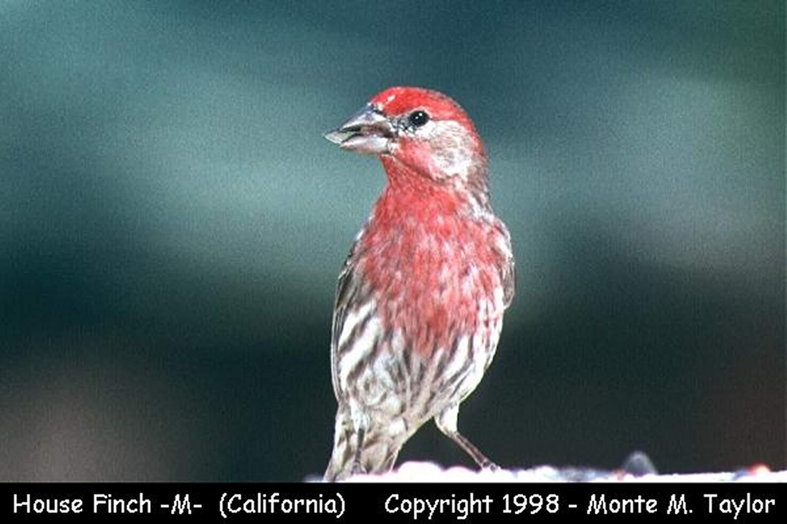 House Finch -male-  (California)