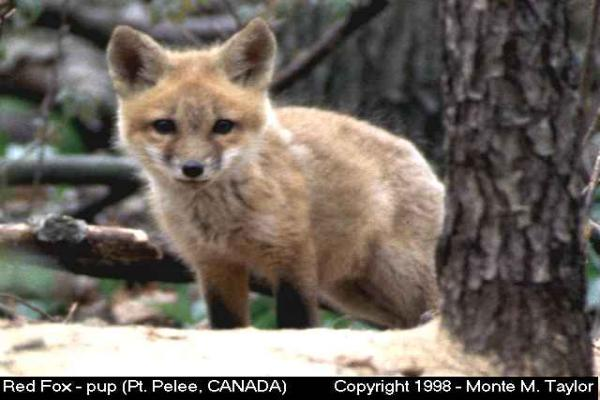 Red Fox -pup-  (Ontario, Canada)