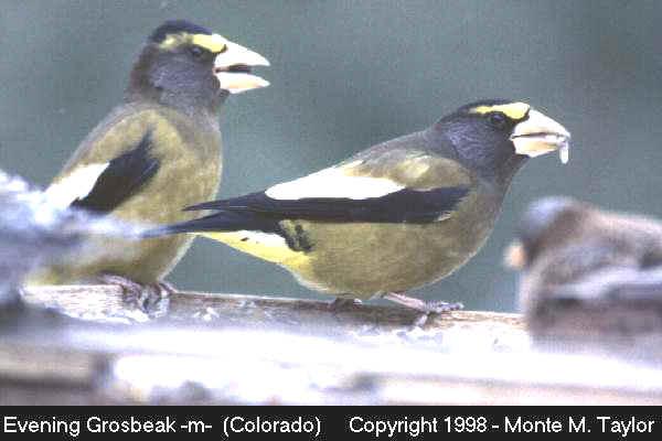 Evening Grosbeak -male-  (Colorado)