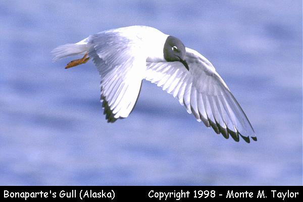 Bonaparte's Gull -breeding-  (Alaska)