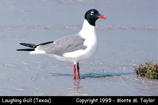 Laughing Gull -breeding-  (Texas)