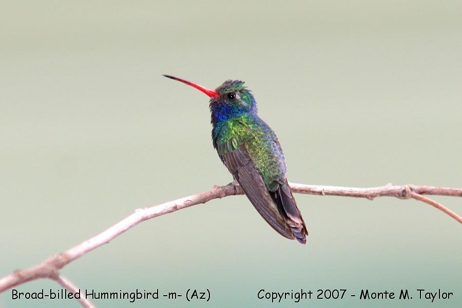 Broad-billed Hummingbird -male- (Arizona)
