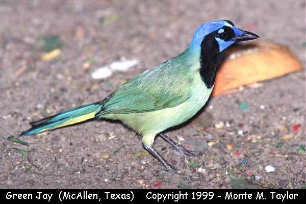 Green Jay  (Texas)