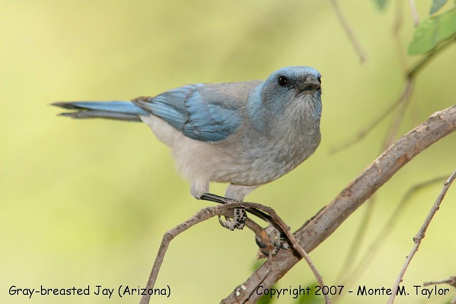 Mexican (Gray-breasted) Jay (Arizona)