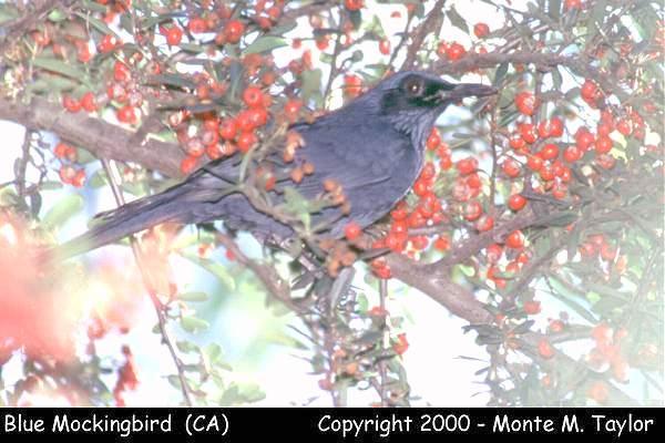 Blue Mockingbird  (Long Beach, California)