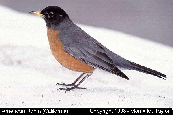 American Robin  (California)