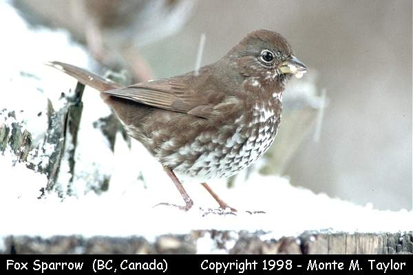 Fox Sparrow  (Vancouver, British Columbia, Canada)