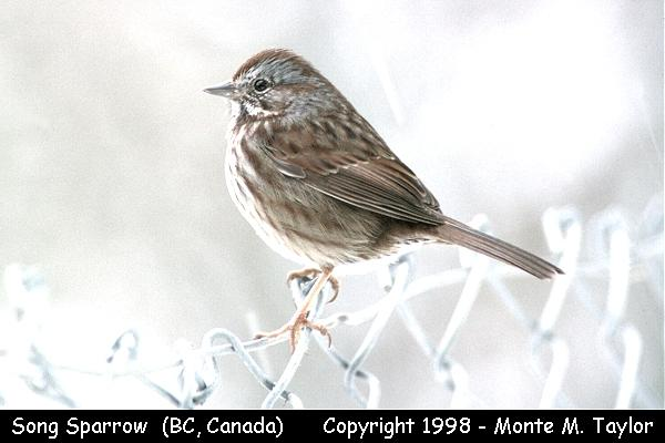 Song Sparrow  (Vancouver, British Columbia, Canada)