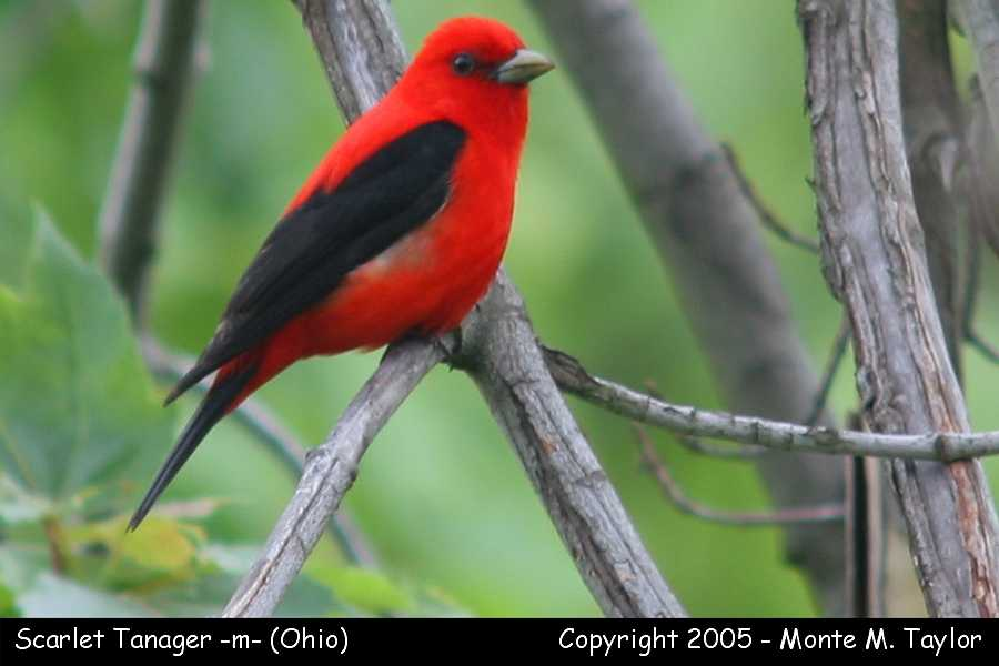 Scarlet Tanager -male-  (Ohio)