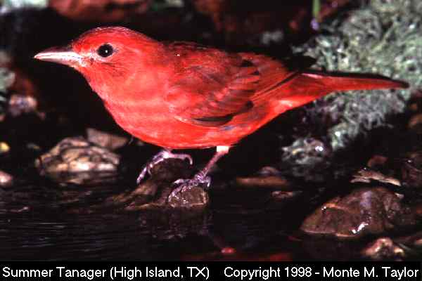 Summer Tanager -male-  (High Island, Texas)