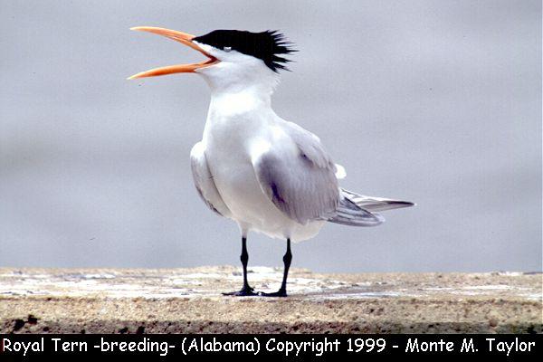 Royal Tern -breeding-  (Alabama)
