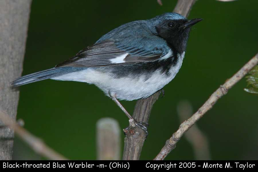 Black-throated Blue Warbler -male-  (Ohio)
