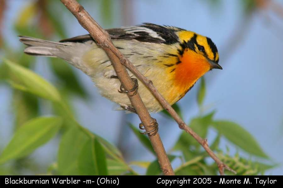 Blackburnian Warbler -male-  (Ohio)