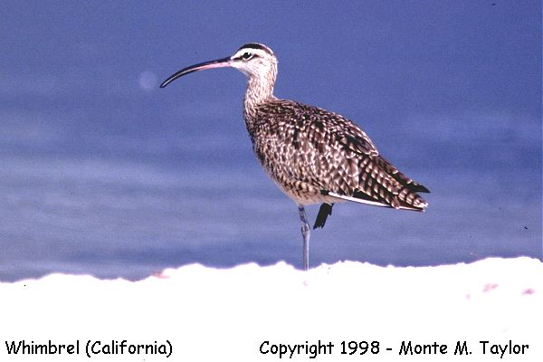 Whimbrel  (California)