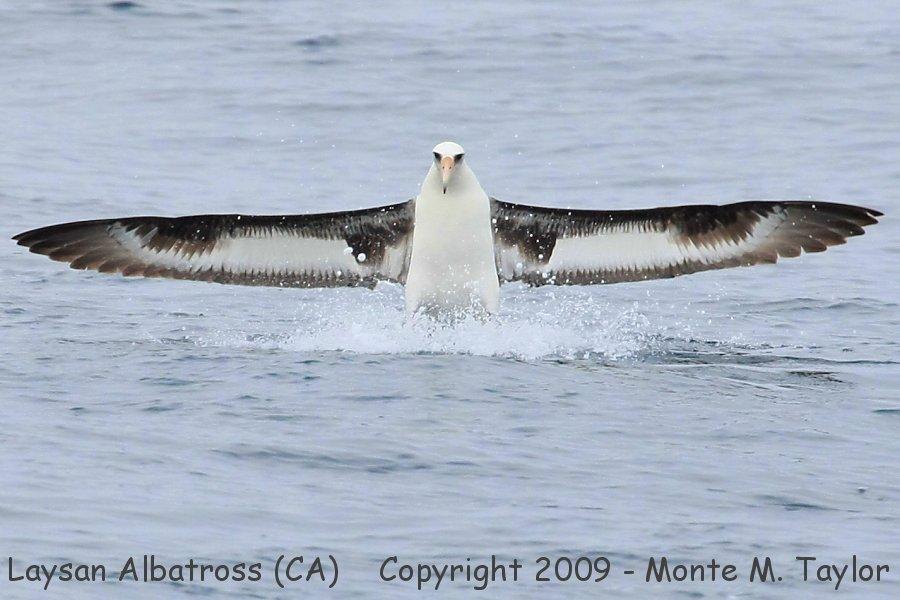 Laysan Albatross -spring- (California)