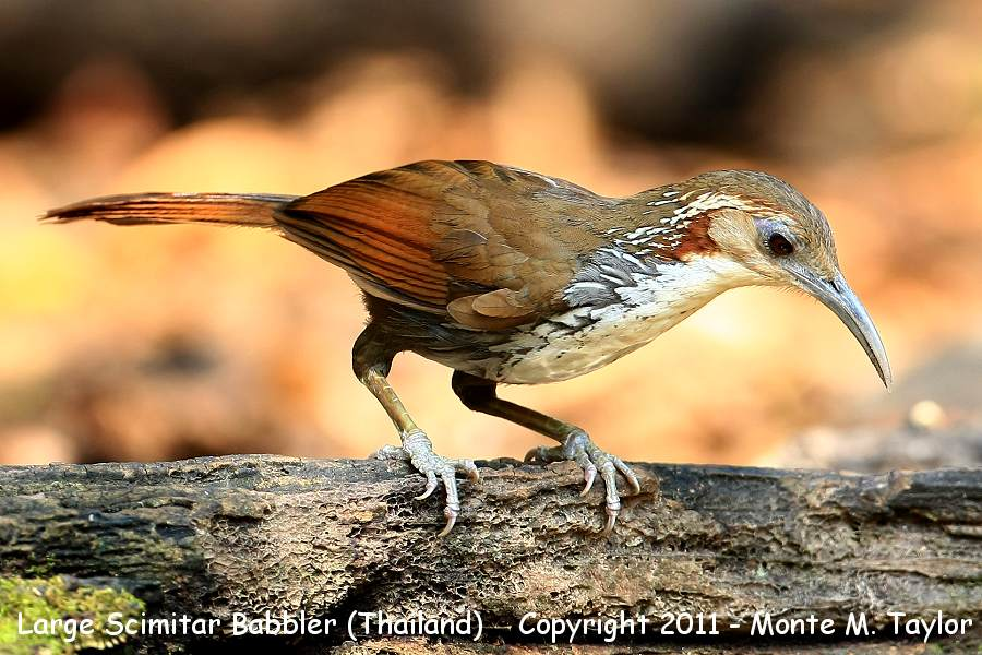 Large Scimitar Babbler -winter- (Kaeng Krachen National Park, Petchaburi, Thailand)