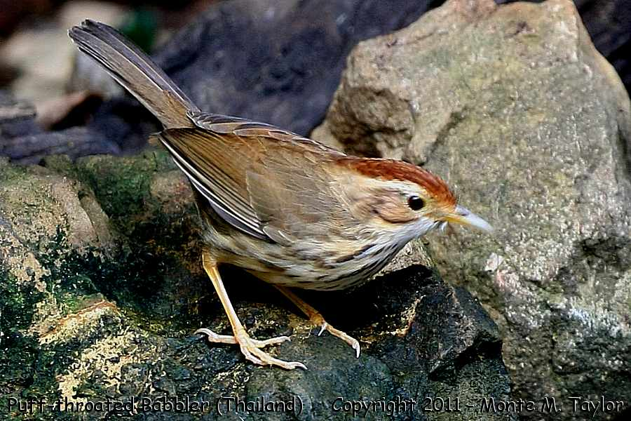 Puff-throated Babbler -winter- (Kaeng Krachen National Park, Thailand)