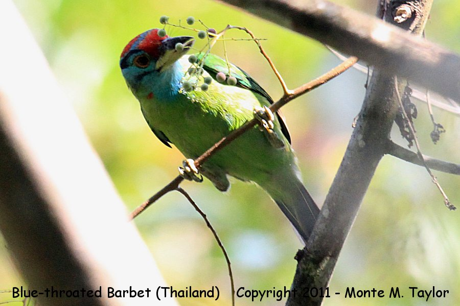 Blue-throated Barbet -winter- (Kaeng Krachen National Park, Petchaburi, Thailand)