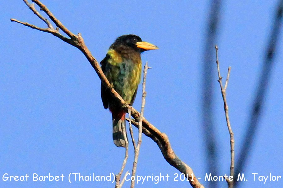 Great Barbet -winter- (Kaeng Krachen National Park, Petchaburi, Thailand)