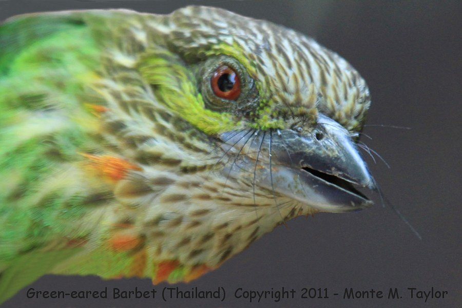 Green-eared Barbet -winter / stunned! (Kaeng Krachen National Park, Thailand)