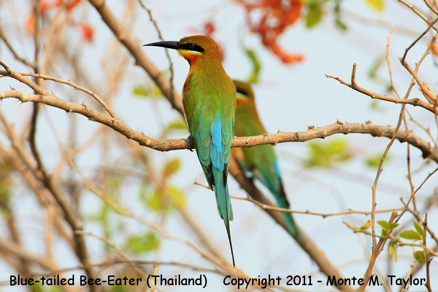 Blue-tailed Bee-Eater -winter- (Laem Pak Bia, Petchaburi, Thailand)