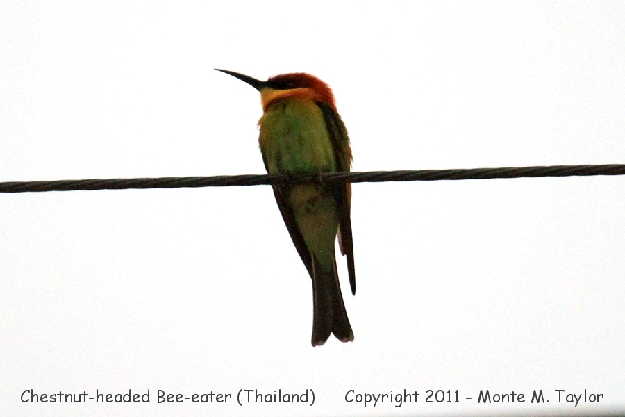 Chestnut-headed Bee-Eater -winter- (Petchaburi, Thailand)