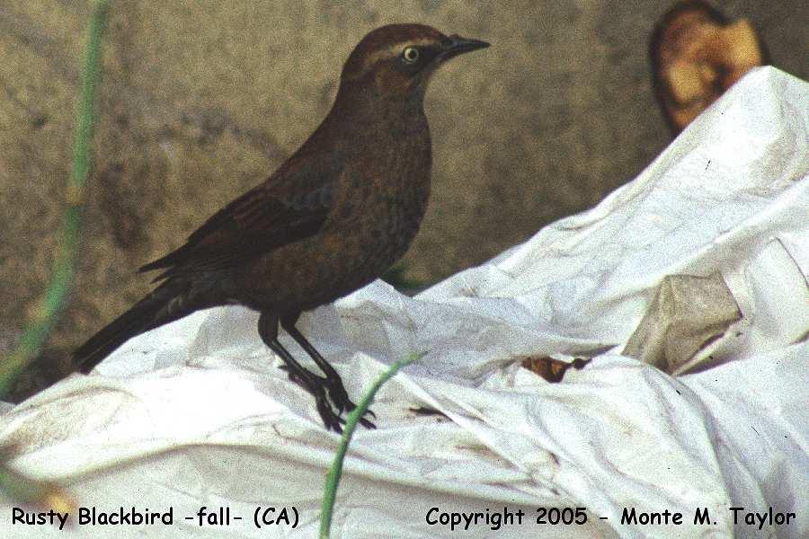 Unlocking the Rusty Blackbird Mystery  eBird