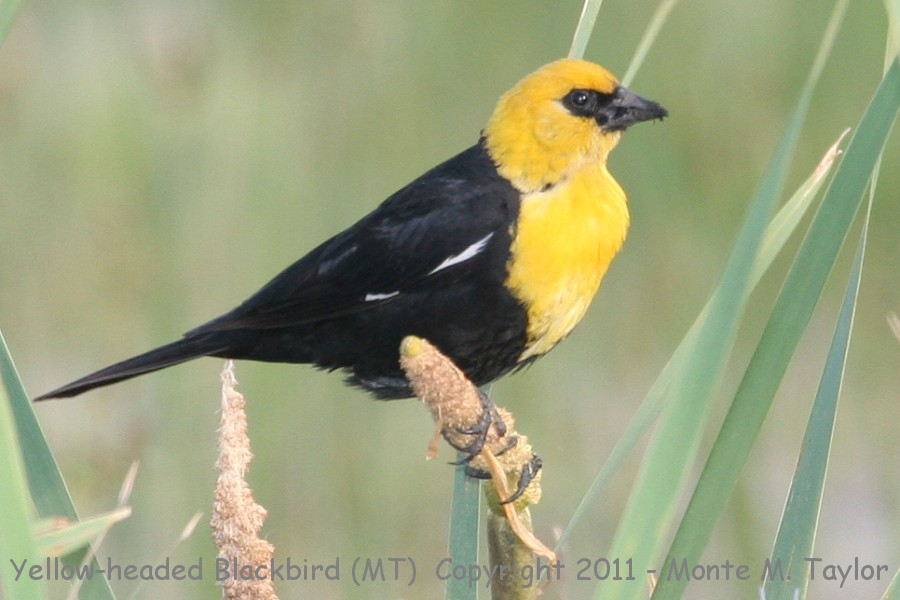 Yellow Headed Blackbird Yellow-headed Blackbird