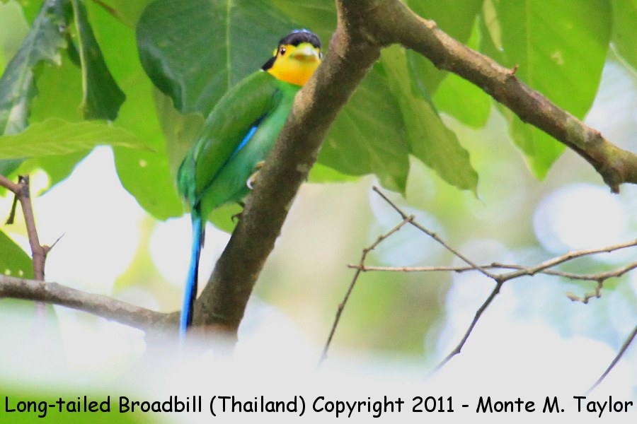 Long-tailed Broadbill -winter- (Kaeng Krachen National Park, Petchaburi, Thailand)
