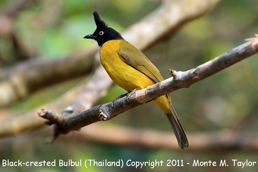 Black-crested Bulbul -winter- (Kaeng Krachen National Park, Petchaburi, Thailand)