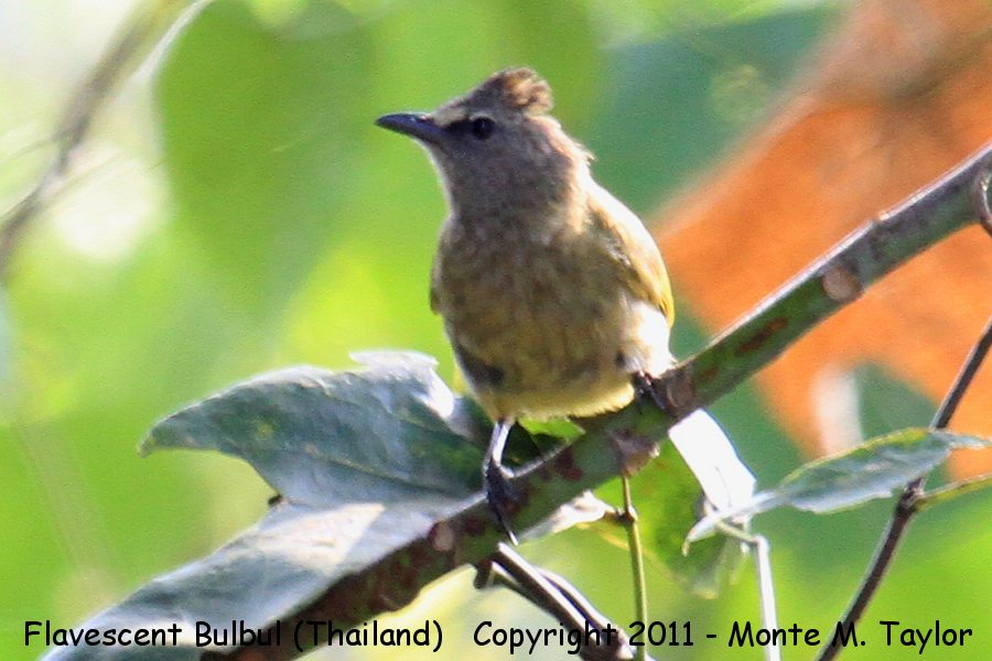 Flavescent Bulbul -winter- (Kaeng Krachen National Park, Petchaburi, Thailand)