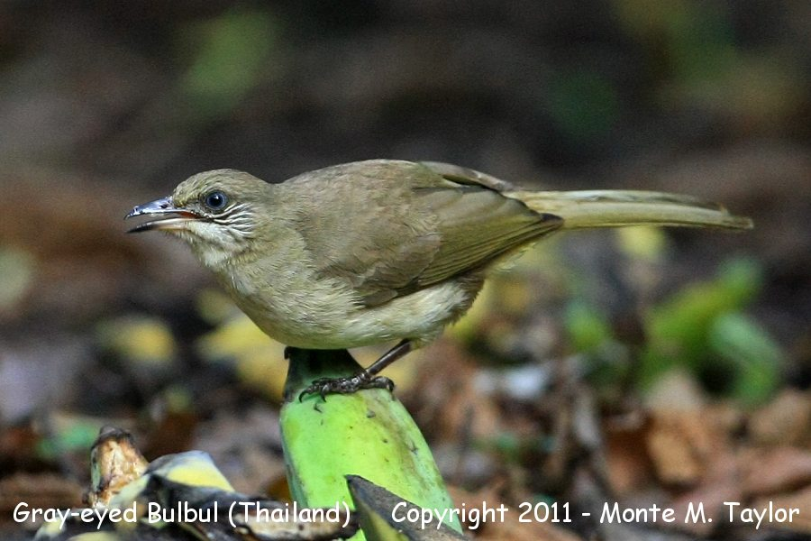 Gray-eyed Bulbul -winter- (Kaeng Krachen National Park, Petchaburi, Thailand)