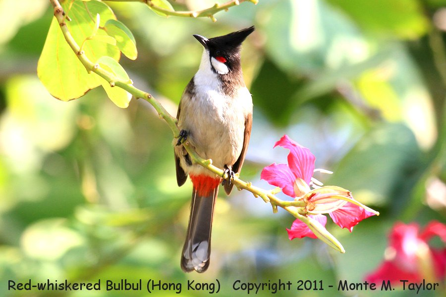 Red-whiskered Bulbul -winter- (Hong Kong, China)
