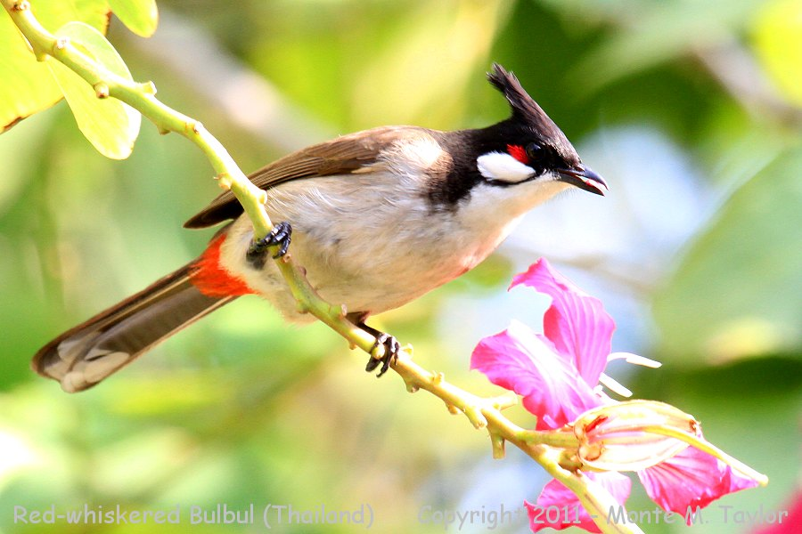 Red-whiskered Bulbul -winter- (Petchaburi, Thailand)