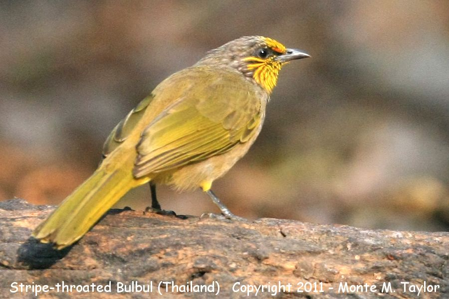 Stripe-throated Bulbul -winter- (Kaeng Krachen National Park, Petchaburi, Thailand)