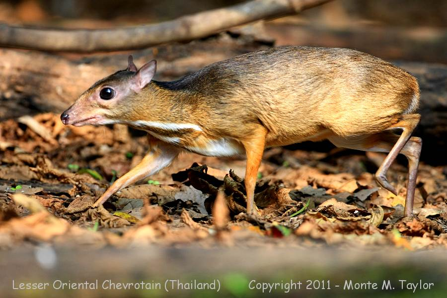 Lesser Oriental Chevrotain (aka Mouse-Deer) -winter- (Kaeng Krachen National Park, Thailand)