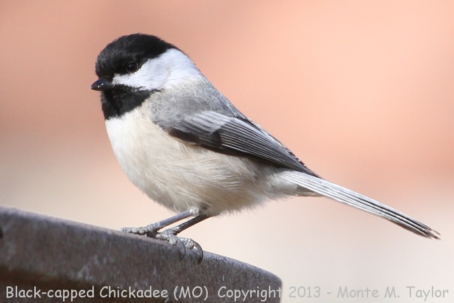 Black-capped Chickadee -winter- (Missouri)