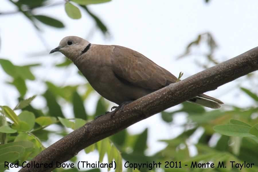 Red Collared Dove -winter female- (Petchaburi, Thailand)