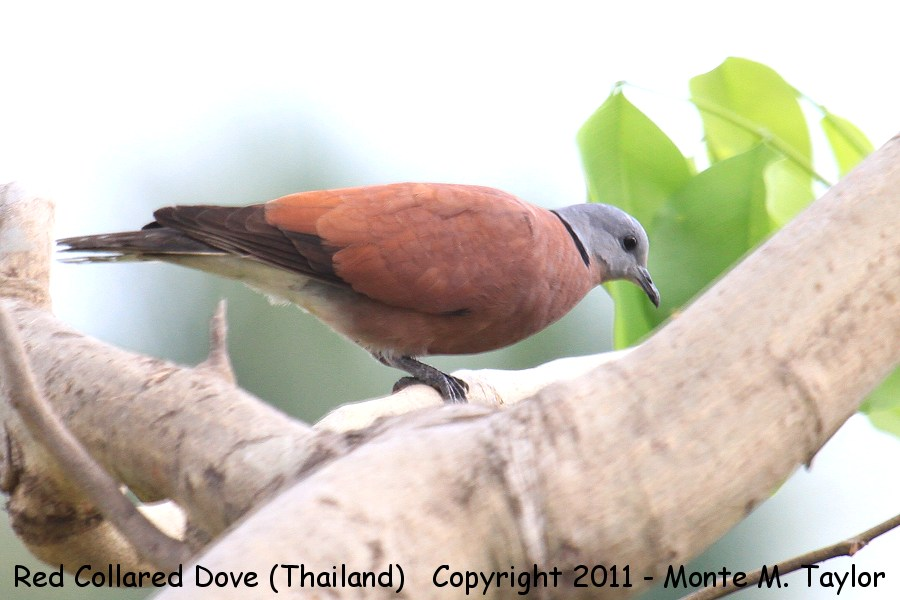 Red Collared Dove -winter male- (Petchaburi, Thailand)