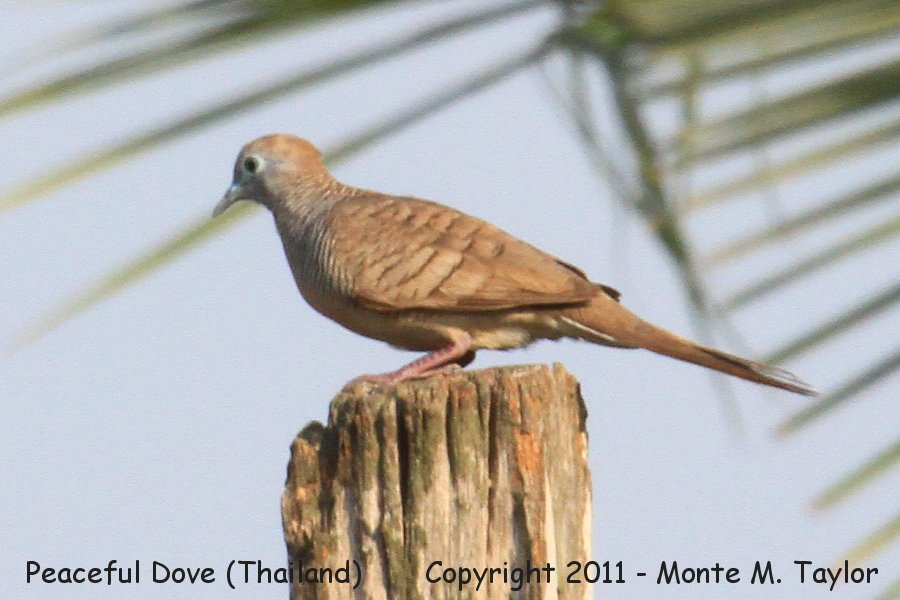 Peaceful Dove -winter- (Petchaburi, Thailand)