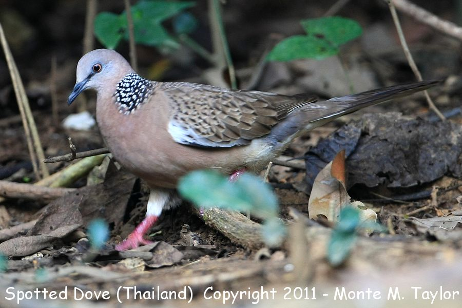 Spotted Dove -winter- (Thailand)
