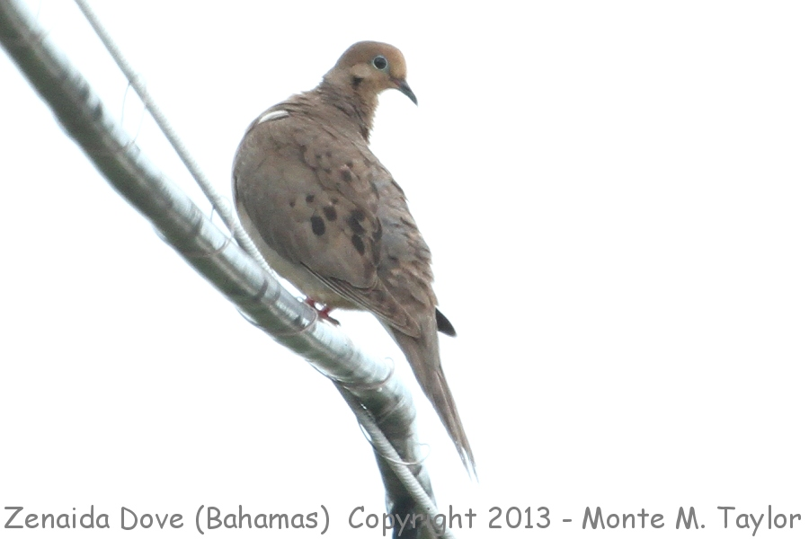 zenaida dove - photo #28