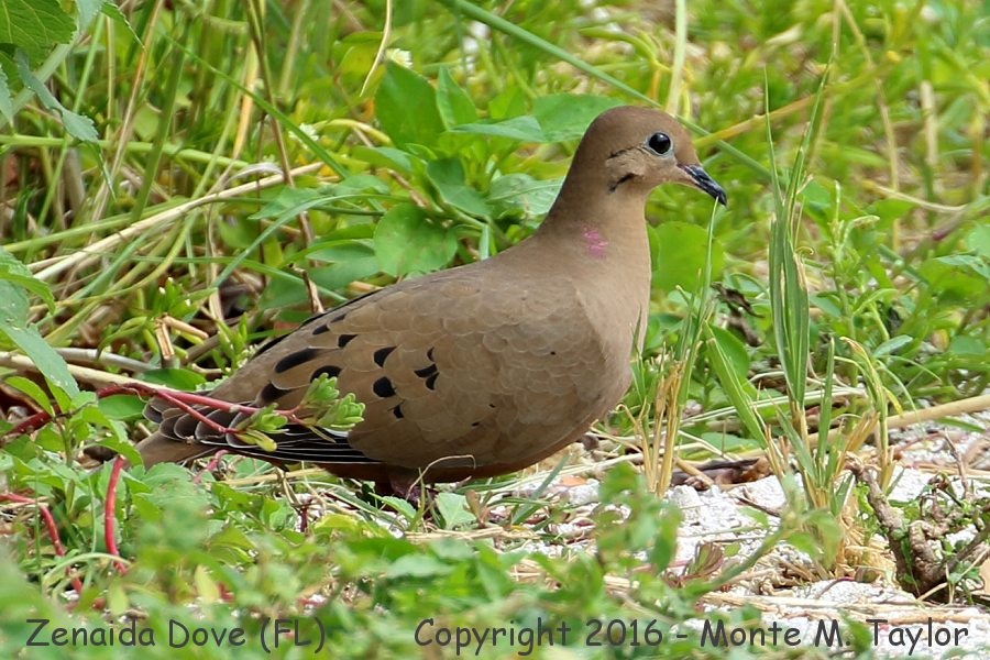 zenaida dove - photo #29