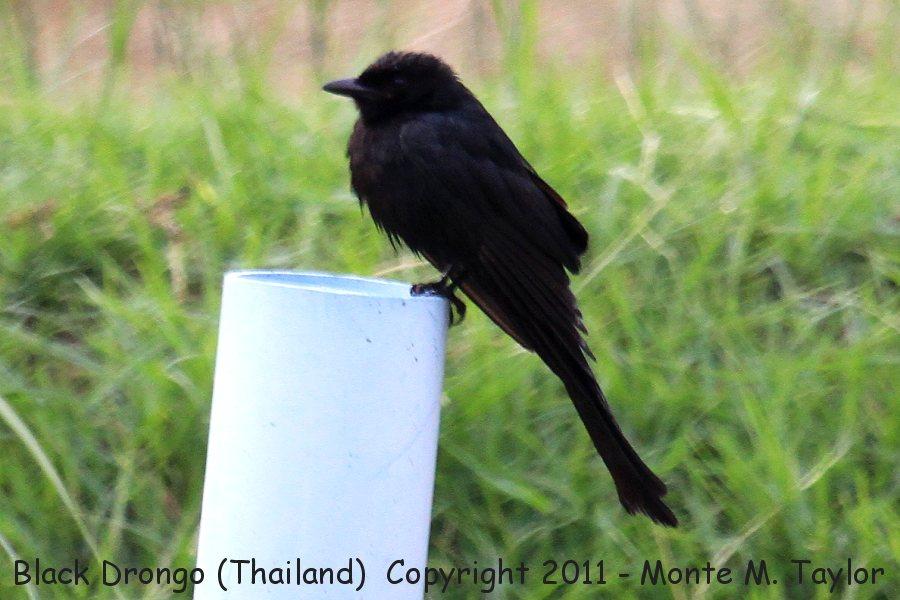 Black Drongo -winter- (Laem Pak Bia, Petchaburi, Thailand)